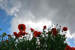 Altri papaveri (al foto) Tags: poppiesfield campodipapaveri seinatapaperinachecosacivuoifar