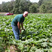 Pumpkins_trap_crop.jpg