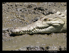 Crocky (efairhurst) Tags: costarica mud teeth crocodile sunning fairhurst crocodylidae animalkingdomelite mywinners aplusphoto