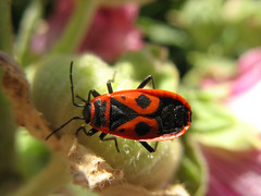 Fire Bug in red and black suit (Pyrrhocoridae) (Batikart) Tags: red black macro rot nature animal closeup fauna canon bug germany insect geotagged ilovenature deutschland natur meadow wiese makro insekt schwarz firebug tier wanze kfer canonpowershot a610 coleoptera fellbach badenwrttemberg swabian naturesfinest feuerwanze pyrrhocoridae canonpowershota610 specanimal fluginsekt abigfave viewonblack batikart macromarvels