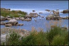 By the Seaside (Kirsten M Lentoft) Tags: sea seagulls birds seaside rocks sweden stones naturesfinest abigfave colorphotoaward momse2600 mmuahhh goodnightdearestsleeptight hörvig kirstenmlentoft
