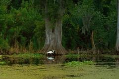 murky waters (pamelaya9) Tags: swamp waters cypress egret murky
