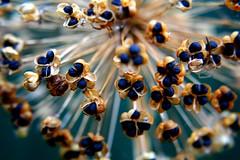 Alliums again. 24th July 08 (La Flaf) Tags: plant allium seedheads lifetravel