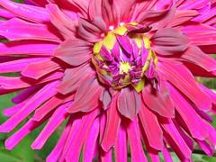 Purple dahlia before the storm (mamietherese1) Tags: dahlia purple flowermacro wonderfulworldofflowers
