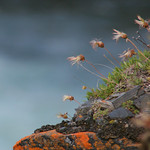Red Lichen and Arctic Flowers in Abisko Canyon