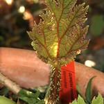 Mammutblad thumbnail