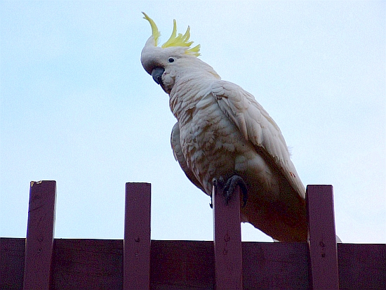 cockatoo on guard