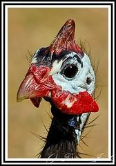 Birds  039 (Terrence J) Tags: birds guineafowl