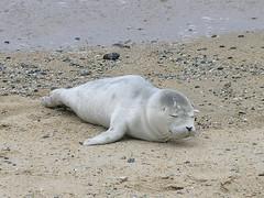 Baby harbor seal (Ed Bierman) Tags: california marine scuba seal sealion