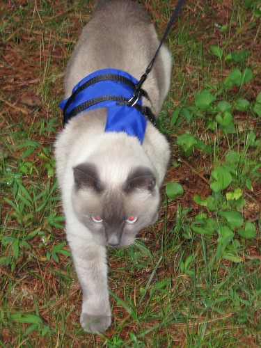 Missy the Siamese/Himalayan cat on a leash