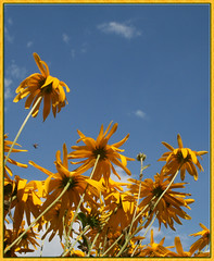 Reach for the Sky (Alicia Lynn) Tags: usa plant flower nature fauna wisconsin outdoors flora blossom wildlife cluster heartland northamerica blossoming bud 2008 wi quantaray flourishing floweret floret canonxti outagamiecounty outdoorsflower cmwdyellow canonrebelxti alicialynncook northamerica quantaray70300mm1456ld