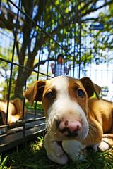 Husky Pit (Bill Adams) Tags: boy dog puppy hawaii pitbull explore waimea bigisland kamuela keiki alaskanhusky 8x12 canonef14mmf28liiusm