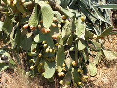 cactus figs vathi prickly pear hania chania