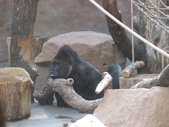 Gorillas at the Prague Zoo