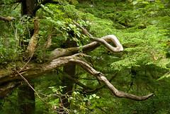 tangled (dolanh) Tags: oregoncoast oswaldweststatepark shortsandsbeach