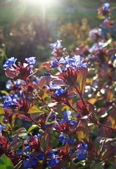 Purple plumbago (?) in sunlight