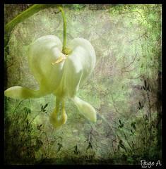 Queen of Hearts (Free 2 Be) Tags: flower darkroom photoshop painting canvas bleedingheart 15challengeswinner