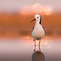 Black-winged Stilt (Jon Thornton) Tags: australianbirds d300 blackwingedstilt specanimal jonthornton theperfectphotographer