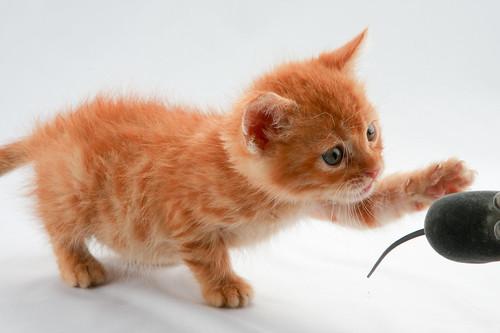[フリー画像] 動物, 哺乳類, ネコ科, 猫・ネコ, 子猫・小猫, 201009081100