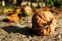 Fallen Nuts (DerNetteAlex) Tags: autumn macro tree fall germany deutschland leaf dof bokeh herbst walnut walnuss abigfave theunforgettablepictures