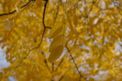 秋天的到來 第一件事 葉子都黃了