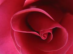 Hanoi rose 100_0783 (Happy Sleepy) Tags: pink macro nature closeup purple twist petal twirl curl 2007 roseflower