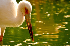 "Esperando la pesca (Jesus de Blas) Tags: naturaleza nature grancanaria agua aves pico fabulous 1001nights palmitospark mywinners aplusphoto theperfectphotographer qualitypixels ""solofotos"""
