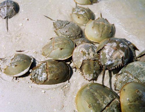 Horseshoe Crabs Delaware Bay 2