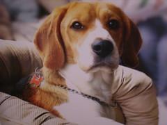 Una linda mirada canina (Louvre1793) Tags: dog chien beagle cane perro hund