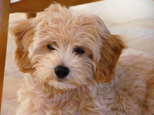 goldendoodle puppy. goldendoodle puppies !