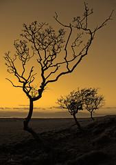 Trees (Ian McClure) Tags: trees sepia scotland photobook duotone arran ohhh ih troon ayrshire gx10 highgrove mywinners abigfave platinumphoto ultimateshot theperfectphotographer goldstaraward goldstarawardgoldmedalwinner damniwishidtakenthat