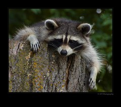 Rough day at the office. (ICT_photo) Tags: guelph racoon ictphoto ianthomasphotography ianthomasphtogaphy