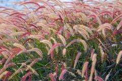 love is in the air (!!sahrizvi!!) Tags: colors grass weeds dubai rustic uae windy lagoon fallfoliage foliage roadside reds loveisintheair rizvi sahrizvi sarizvi
