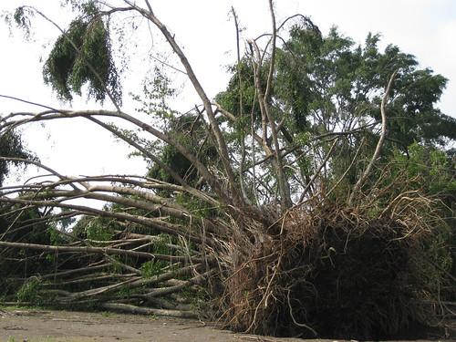 Selbst der größte und älteste Baum hatte keine Chance
