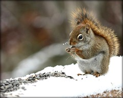 Snowflakes on my whiskers :-) (Nancy Rose) Tags: snow snowflakes squirrel seeds railing mybackyard firstsnowfall theunforgettablepictures vosplusbellesphotos