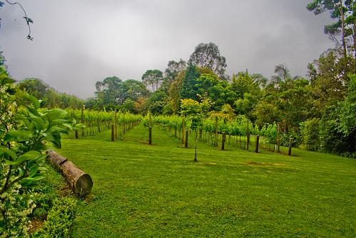 Vineyard by Lewi Hirvela.