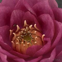 summer live org (Corin@ 2008) Tags: art nature rose blossoms natuur d200 2008 bloesem corina corin roze bloem theunforgettablepictures awesomeblossoms