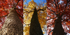 The Sentinels (Canicuss) Tags: blue autumn trees red sky orange fall yellow three oak bright branches walnut mo kansascity missouri bark trunk tall trio mighty imposing sentinels sonya100 canicuss