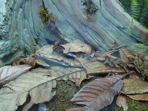 Megophrys nasuta, La rana cornuda malaya 3069448840_3721465152
