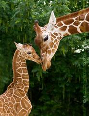 Girafes (Anna_Unnaki) Tags: animaux girafe