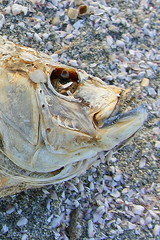 Fish heads, Fish heads. Rolly polly Fish heads. Fish heads, Fish heads. Eat them up, Yummm.