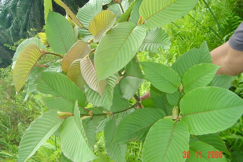 Kratom  red vein more stock with riau dragon fresh picture photo bild