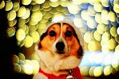 What would you like Santa Pochiko to bring you? (moaan) Tags: santa christmas xmas dog digital happy 50mm lights corgi holidays dof bokeh illuminations santaclaus happyholidays welshcorgi 2008 f095 christmasilluminations explored canonf095 rd1s pochiko epsonrd1s thelittledoglaughed canon50mmf095 bokehballs goldenbokeh bokehwhores holidayclothes iwishyouahappychristmas gettyimagesjapanq1 gettyimagesjapanq2