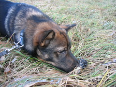 IMG_2907 (Niina J.) Tags: eläimet koirat osmo