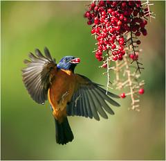 #390  (Midair Peck) (John&Fish) Tags: wild bird nature wow ngc taiwan best fabulous supershot specanimal specialtouch specanimalphotooftheday specanimalphotoofthemonth lightstylus trueessence capturethefinest youscore