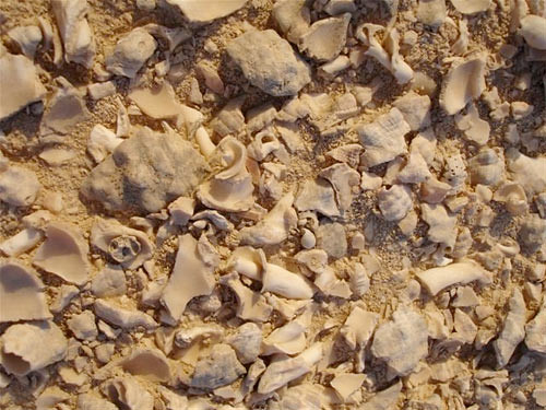 Crushed Shells of Thais Savignyi from the Shell Midden on Jazirat Bin Ghannam.