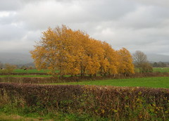 Grey skies, golden trees (Lune Rambler) Tags: autumn trees fall leaves landscape grey golden countryside october skies british 1001nights hedges gmt whittington lunevalley bej abigfave platinumphoto anawesomeshot theperfectphotographer bestofautumn platinumbestshot lunerambler 1001nightsmagiccity
