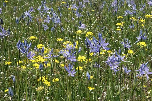 Camassia and Lomatium