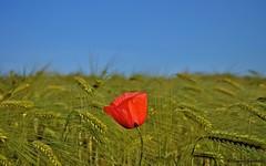 papavero (Simone Zucchelli {ZUCCSIM}) Tags: flower primavera spring nikon fiore papavero natureplus zuccsim d5000 borderfx panoramafotogrfico natureandpeopleinnature