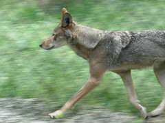Captive red wolf (Wolf Haven)